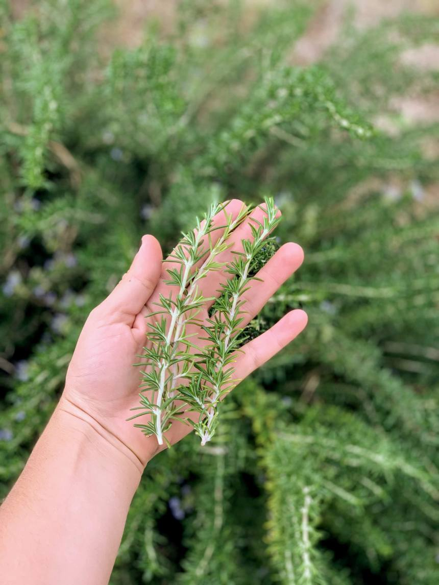 3 sprigs of rosemary the size of my wrist to the end of my middle finger